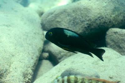 Brichardi Cichlidae