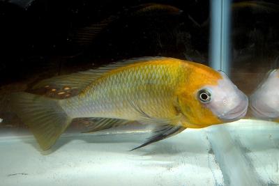 Petrochromis macrognathus Cichlidae