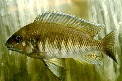 Petrochromis orthognathus Cichlidae