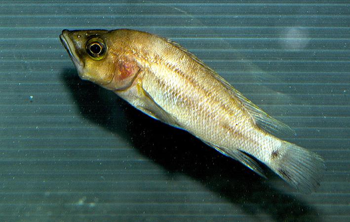 Neolamprologus prochilus