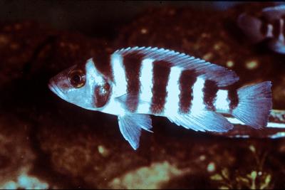 Neolamprologus sexfasciatus Cichlidae
