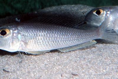 Xenotilapia sima Cichlidae