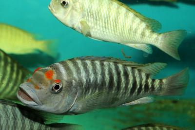 Petro Red eyes Cichlidae