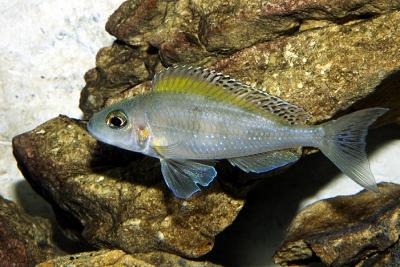 Xenotilapia spiloptera Cichlidae