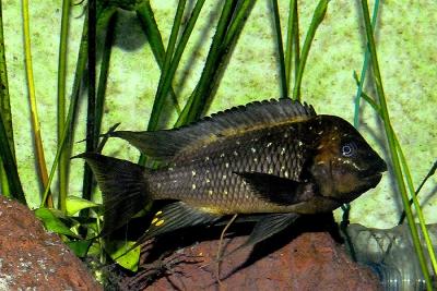 Petrochromis trewavasae Cichlidae