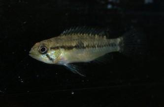 Apistogramma wapisana Cichlidae