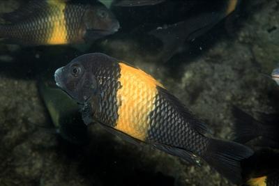 Black Kiriza Cichlidae