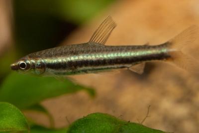 poisson crayon nain Lebiasinidae