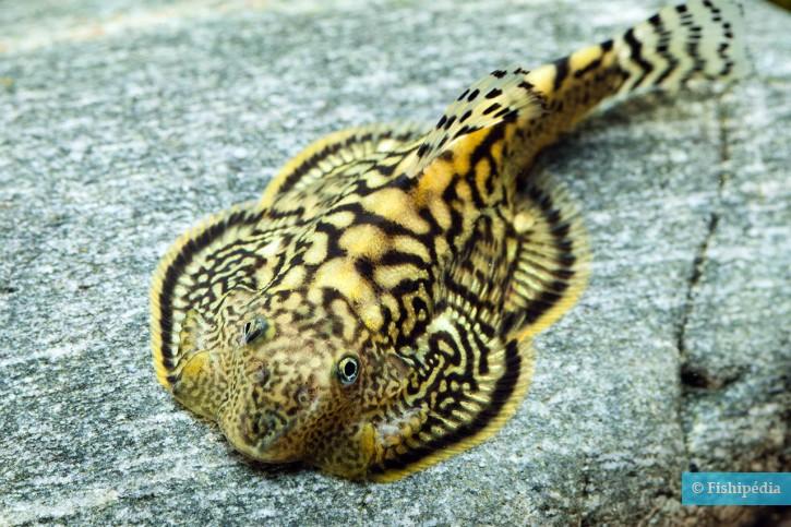 Sewellia marmorata - loche marmorata