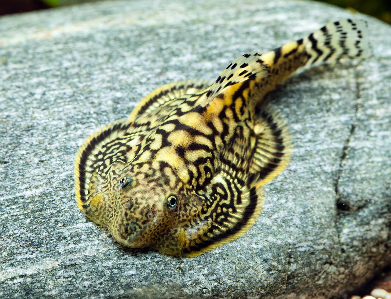Loche marmorata sewellia marmorata loche fiche poisson - Poisson a ventouse ...