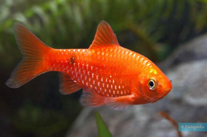 Pethia conchonius - barbus rosé