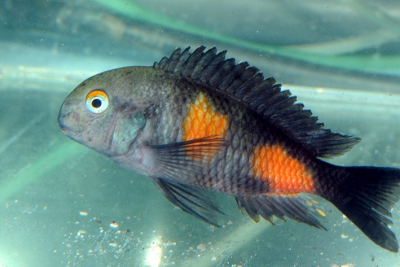 Bulu Point, Kirschflek Cichlidae