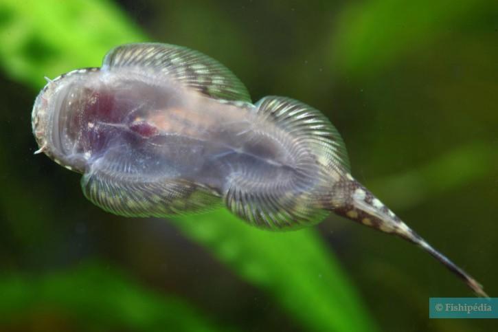 Gastromyzon punctulatus - loche de Bornéo