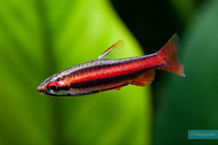 Nannostomus mortenthaleri - poisson-crayon rouge
