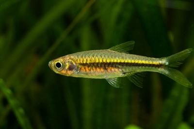 Rasbora cf. paucisqualis Cyprinidae