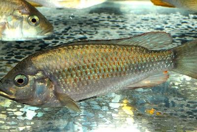 Astatotilapia calliptera Cichlidae