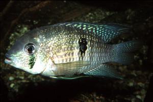 Andinoacara coeruleopunctatus
