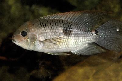 Acara diadème Cichlidae