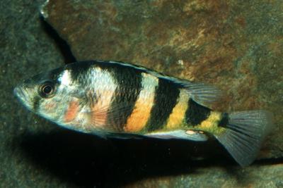 Astatotilapia latifasciata Cichlidae