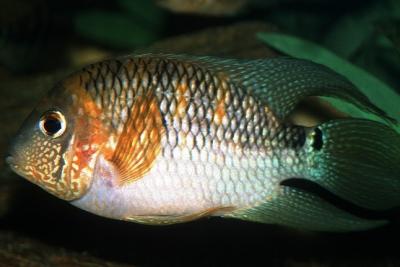 Aequidens metae Cichlidae