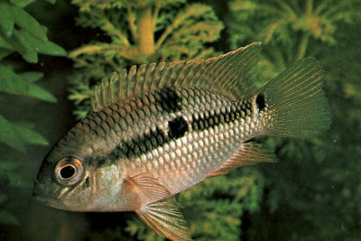 Acara à double tache Cichlidae