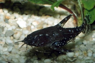 Agamyxis pectinifrons Doradidae