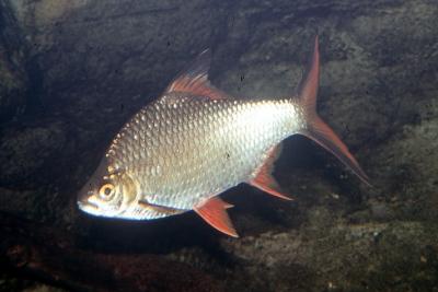 barbus de Schwanenfeld Cyprinidae