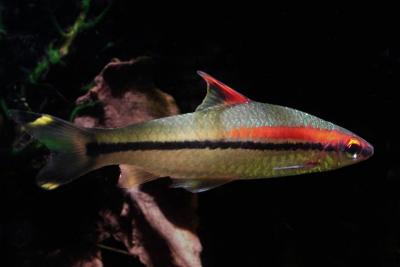 Barbus crayon Cyprinidae