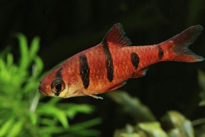 barbus à 5 bandes Cyprinidae