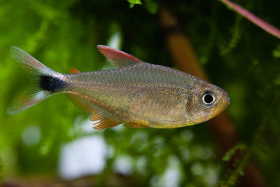 Hyphessobrycon robustulus Characidae