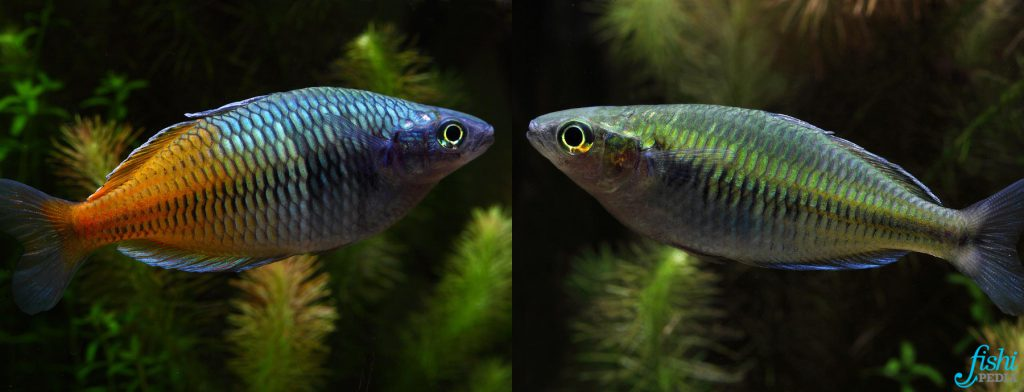 poissons arc-en-ciel