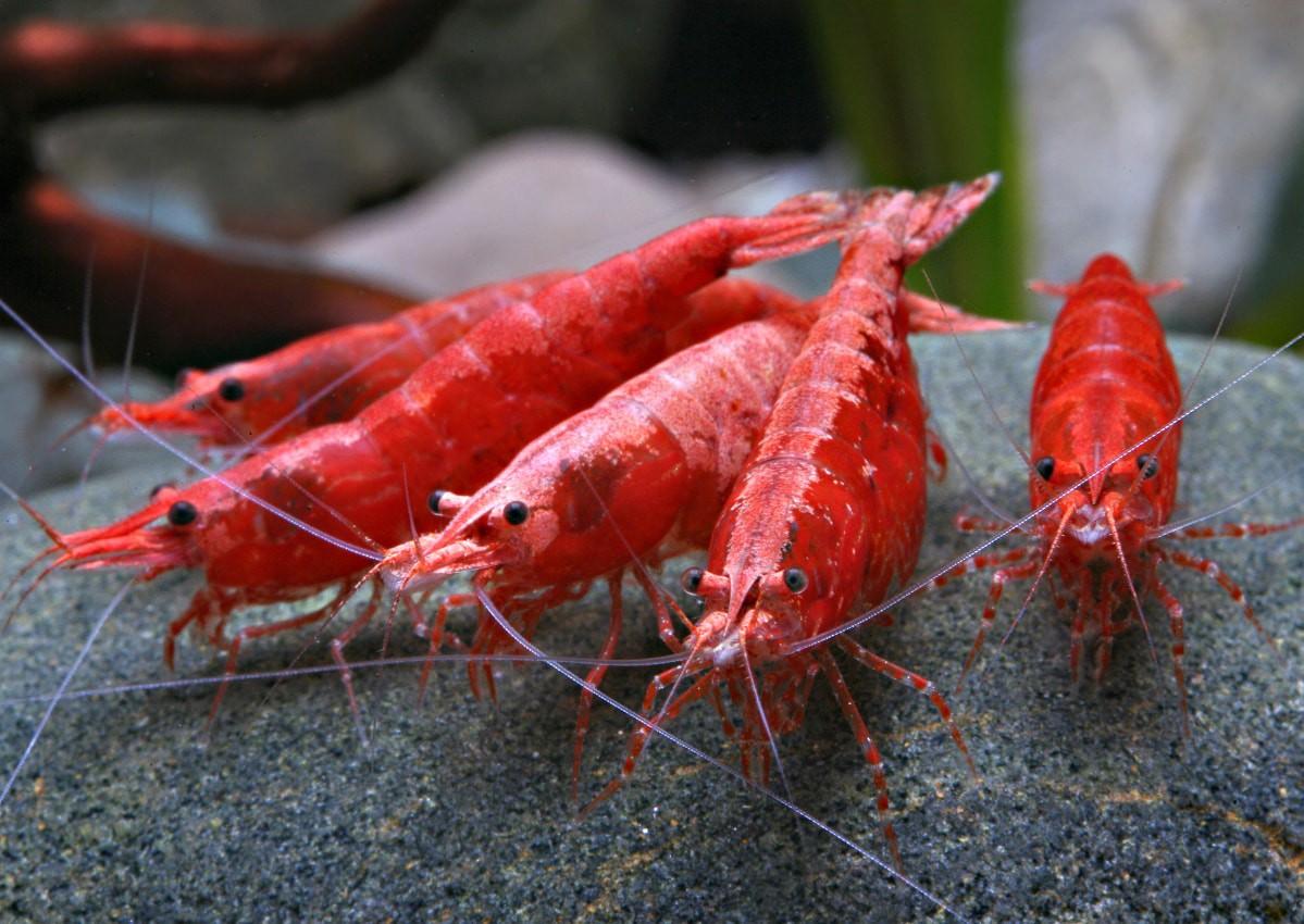 "Lancement de la thématique ""Crustacé"" sur Fishipédia Neocaridina-davidi-Red-Sakura-1"