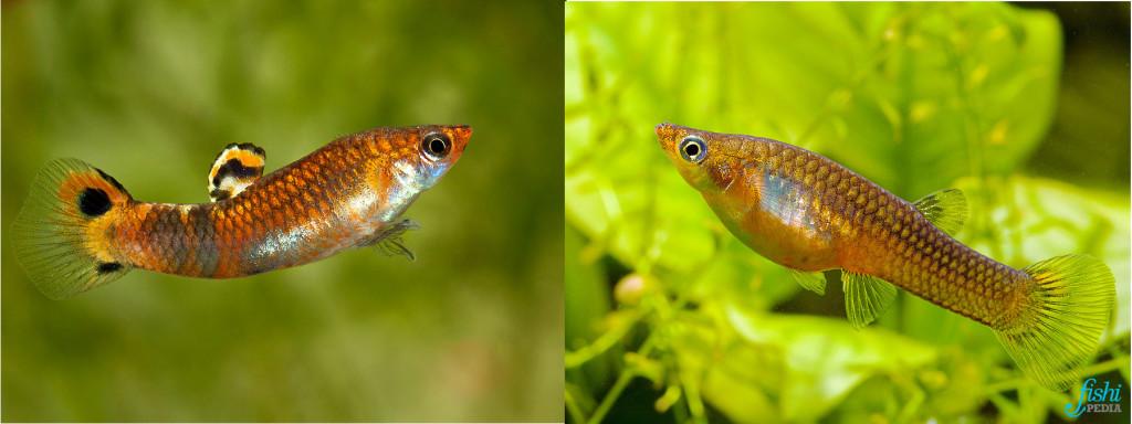 Dimorphisme Micropoeclia picra © Peter Maguire