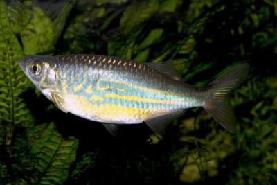 Bagnard géant Cyprinidae