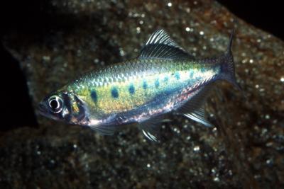 Devario neilgherriensis Cyprinidae