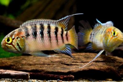 Ivanacara adoketa Cichlidae