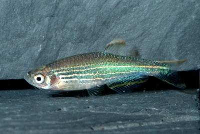 Danio kyathit Cyprinidae