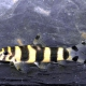 picture of Botia histrionica