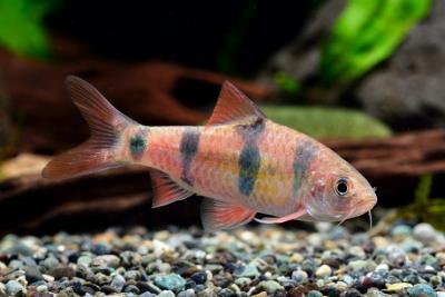 Barbus clown Cyprinidae