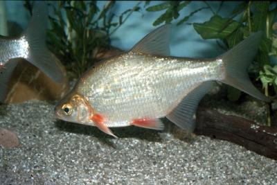 Brême bordelière Cyprinidae
