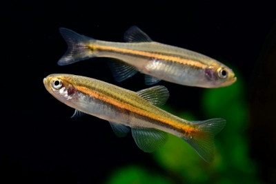 Danio jaintianensis Cyprinidae