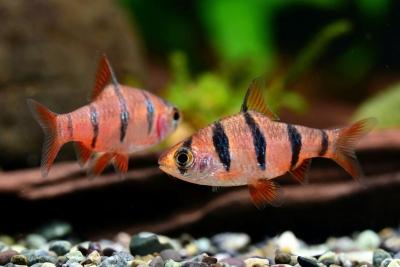 barbus à 6 bandes Cyprinidae