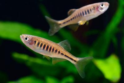 Devario maetaengensis Cyprinidae