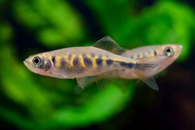 danio barré Cyprinidae