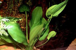 Echinodorus longiscapus