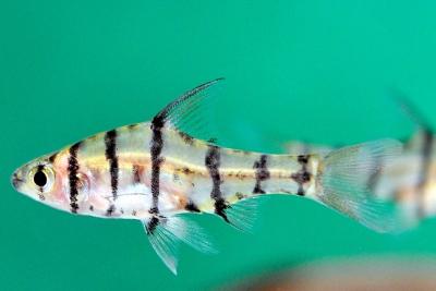 Barbus à huit barres Cyprinidae