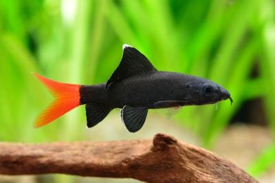 labeo bicolore Cyprinidae
