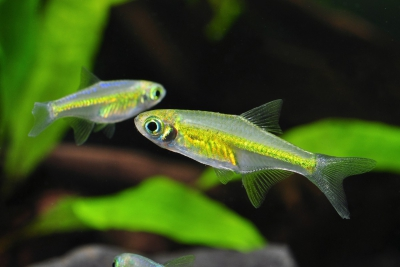Rasbora émeraude Cyprinidae