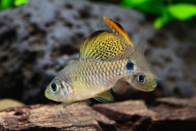 Oreichthys crenuchoides Cyprinidae