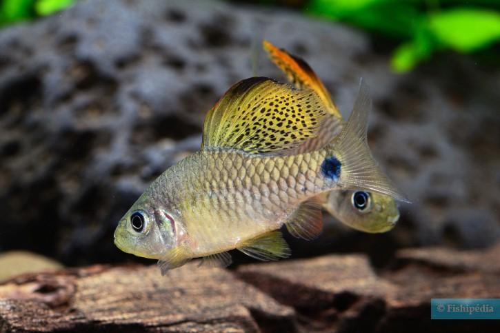 Oreichthys crenuchoides